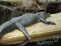 Ameriški aligator, na čigar krvi so potekale raziskave