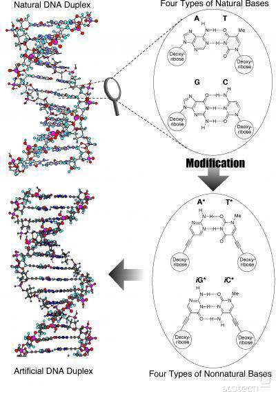 Naravna človeška DNK struktura in umetna struktura, stvaritev japonskih inženirjev