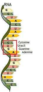 Molekula RNA