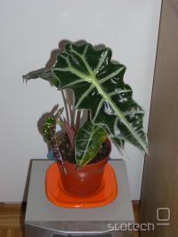 rastlinca1