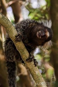 Navadna marmozetka (Callithrix jacchus)