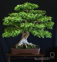 ficus bonsaj; umetnina