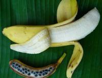 Razlika med udomačeno (mutant) in divjo banano.