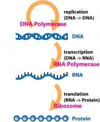 Centralna dogma biologije o toku informacij. Cepivo vsebuje RNA, iz katerega se proizvede protein.