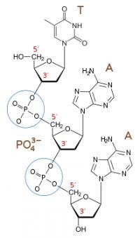 Nukleotidi se povezujejo prek fosfodiestrskih vezi (fosfatna skupina) med 3' in 5' koncem sladkorja. Zato se tudi konca verige RNA ali DNA imenujeta 5' in 3'. RNA se bere od 5' proti 3'.