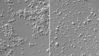 levo neenakomerna delitev celic z majhnim genomom, desno normalna
