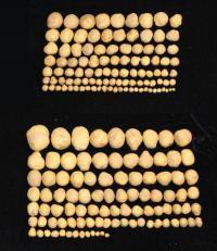 zgoraj običajen krompir, spodaj modificiran